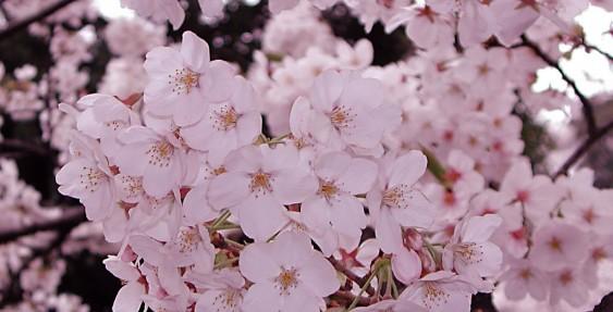 筋湯温泉の桜、まだまだ見ごろです!