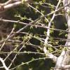 イチョウの赤ちゃん木の芽