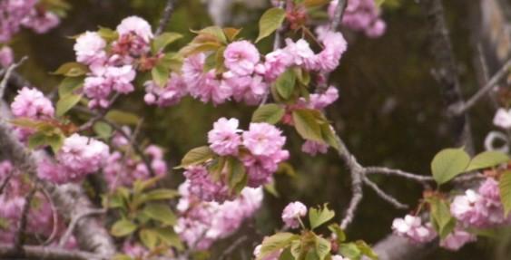 八重桜が見頃、食べるのも旬!?