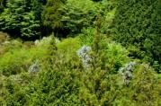 筋湯の山に咲き誇る山藤